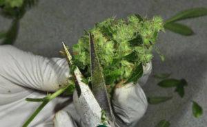 Trimming – Como limpar as flores de cannabis pós colheita