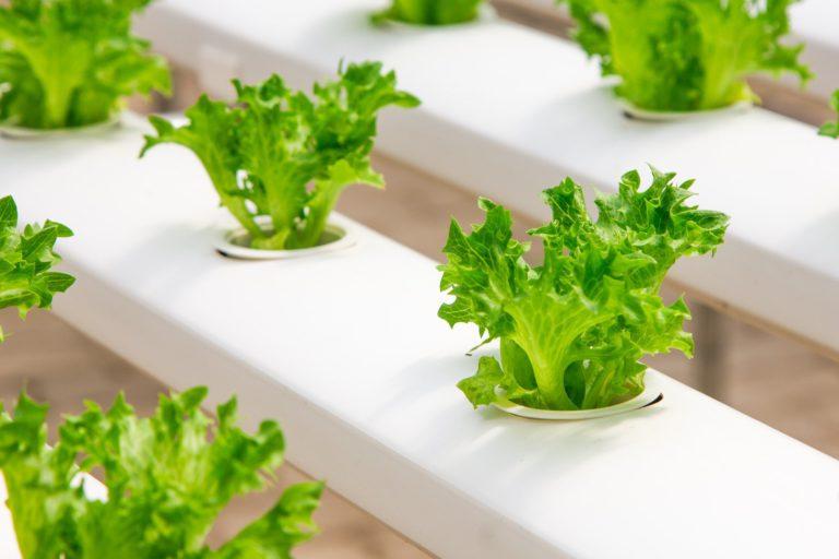 Solo ou Hidroponia, qual o meio de cultivo ideal?